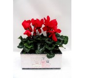 cyclamen en caja decorada