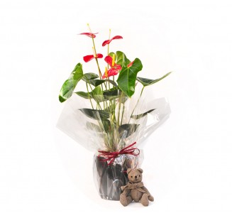 Anthurium en maceta