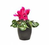 cyclamen maceta