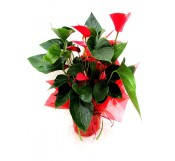1 Anthurium decorado