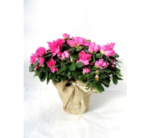 Azalea decorada(DISPONIBLE SOLO PARA MADRID)