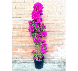 Bougainvillea (DISPONIBLE SOLO PARA MADRID)