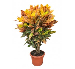 Croton Petra XXL (DISPONIBLE SOLO PARA MADRID)