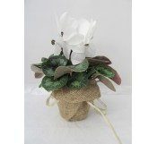 cyclamen decorado