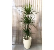 Dracena Marginata Maceta decorativa(DISPONIBLE SOLO PARA MADRID)