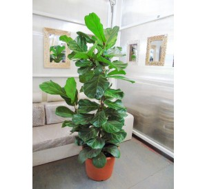 Ficus Lyrata Abusto(DISPONIBLE SOLO PARA MADRID)