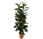 Ficus robusta M30(DISPONIBLE SOLO PARA MADRID)