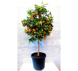 Kumquat Grande(DISPONIBLE SOLO PARA MADRID)
