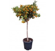Kumquat  XXL(DISPONIBLE SOLO PARA MADRID)