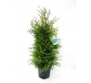 thuja occidentalis M19